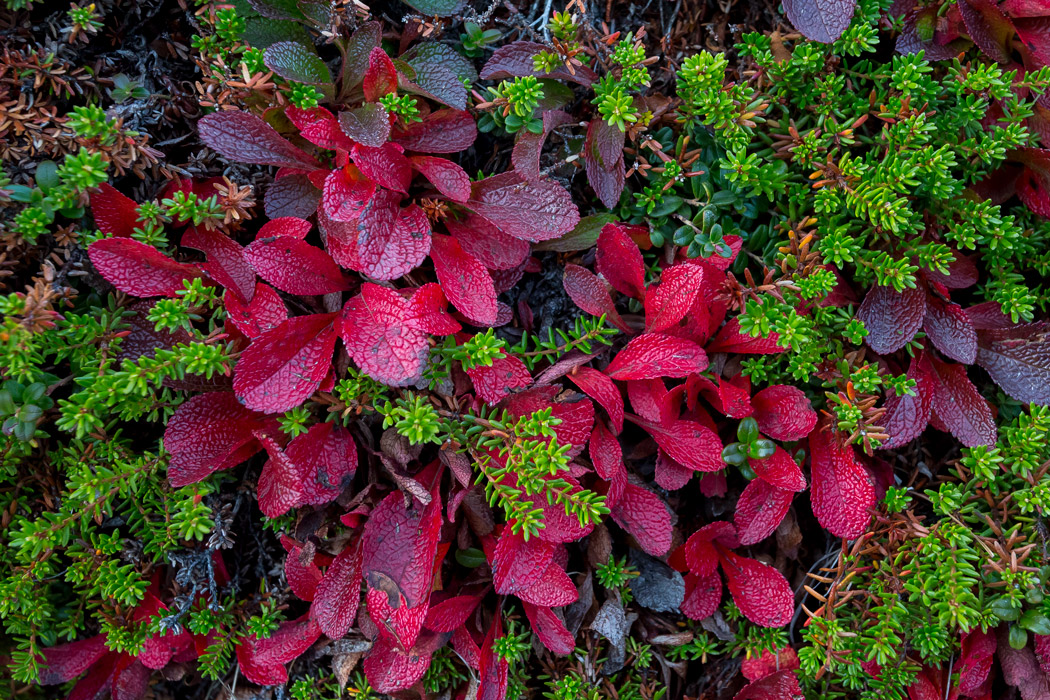 Alpine bearberry red color in the fall