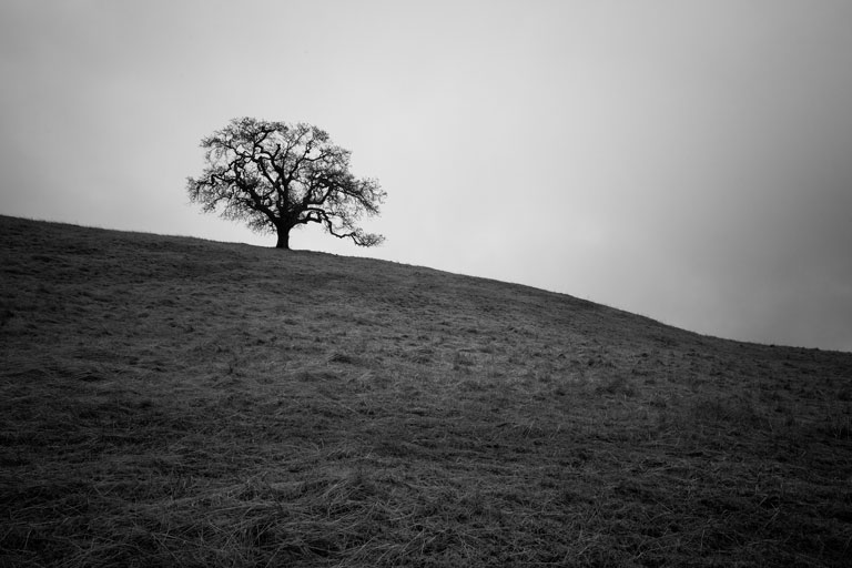 Lone oak tree on hill in black-and-white