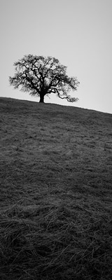 Oak trees of California thumbnail