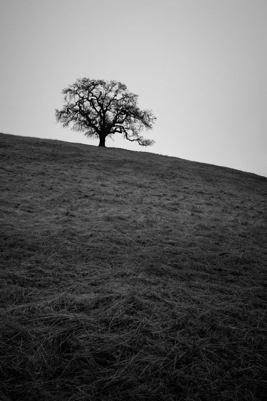 Lone oak tree on a hill in Joseph D. Grant County Park in Mount Hamilton, California