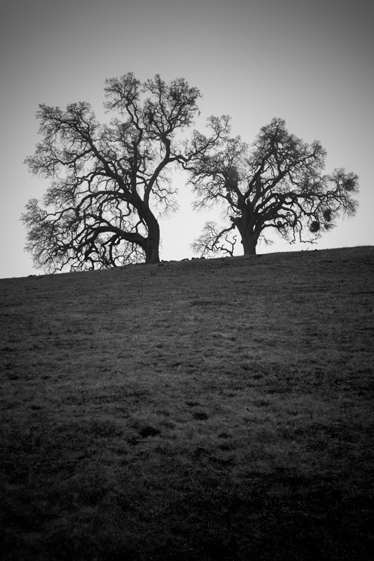 Two oak trees on a hill in Sunol Regional Wilderness, California