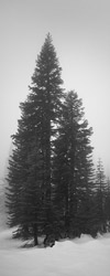 Mount Shasta trees album