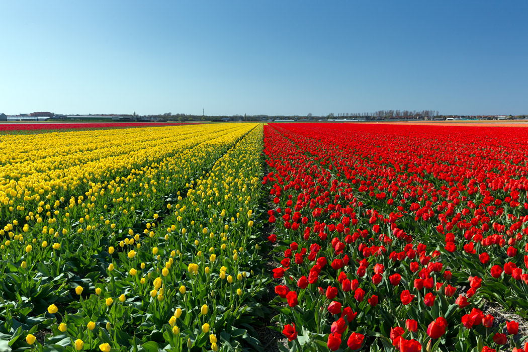 Red and yellow tulip field of The Netherlands' Flower Route