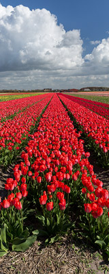 Red tulip field of The Netherlands' Flower Route thumbnail