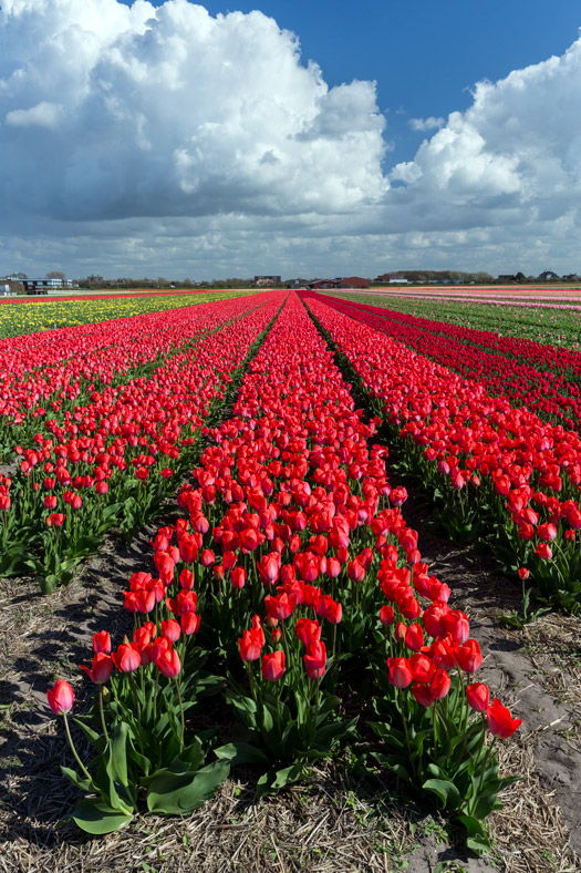 Red tulip field of The Netherlands' Flower Route