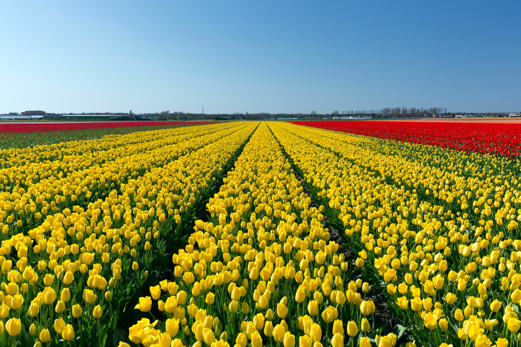 Yellow tulip field of The Netherlands' Flower Route