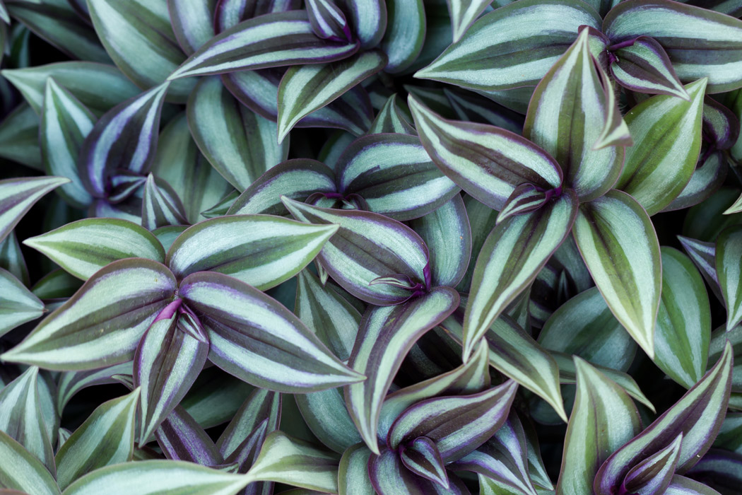 Green and purple Tradescantia Zebrina plant